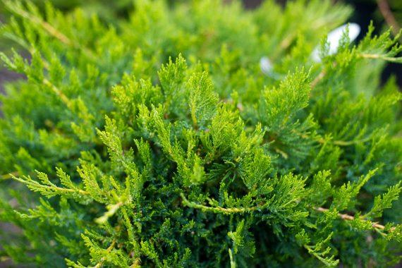 JUNIPER SEA GREEN