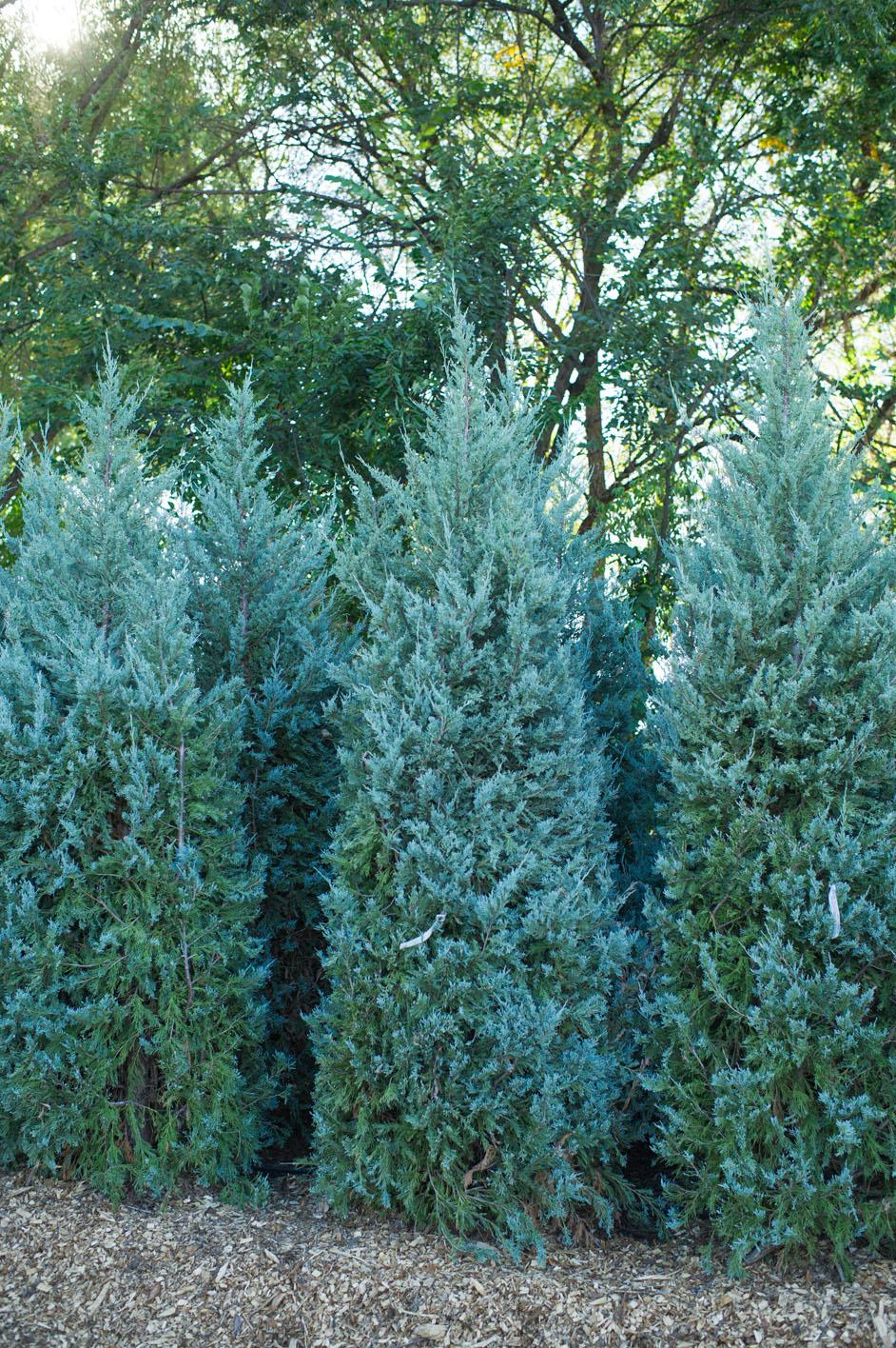 Juniper wichita blue creekside tree nursery for The juniper
