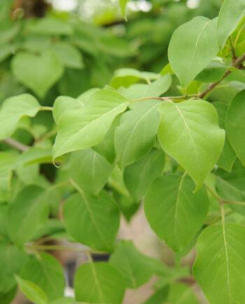 LILAC TREE CHINA SNOW