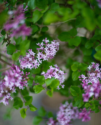 LILAC TREE KOREAN