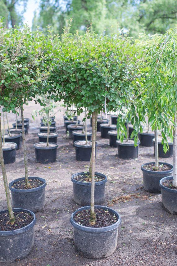 LILAC TREE KOREAN