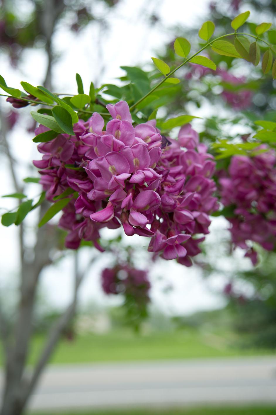Locust purple robe mightylinksfo