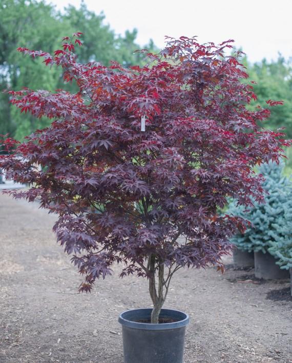 maple bloodgood japanese creekside tree nursery