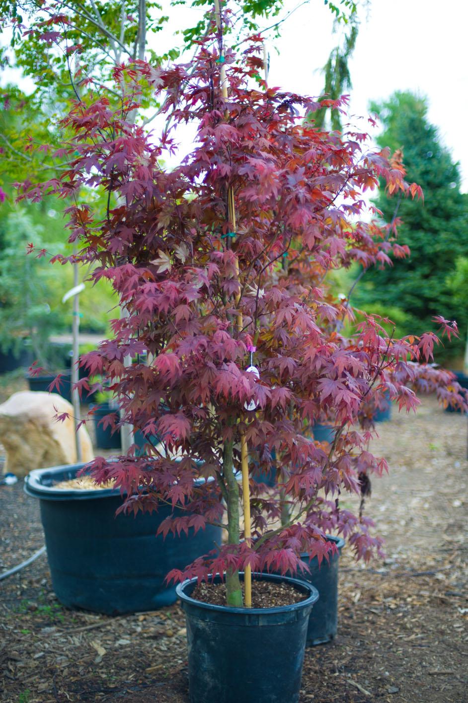 maple tree nursery maple bloodgood japanese for sale in boulder colorado