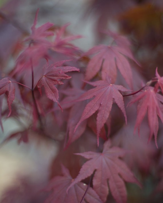Small Ornamental Trees Oregon: MAPLE BLOODGOOD JAPANESE