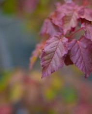 MAPLE HOT WINGS – Trees for Sale in Colorado. Buy the best plants for your landscape.