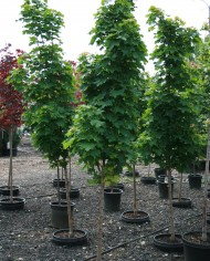 MAPLE NORWAY COLUMNAR – Trees for Sale in Colorado. Buy the best plants for your landscape.