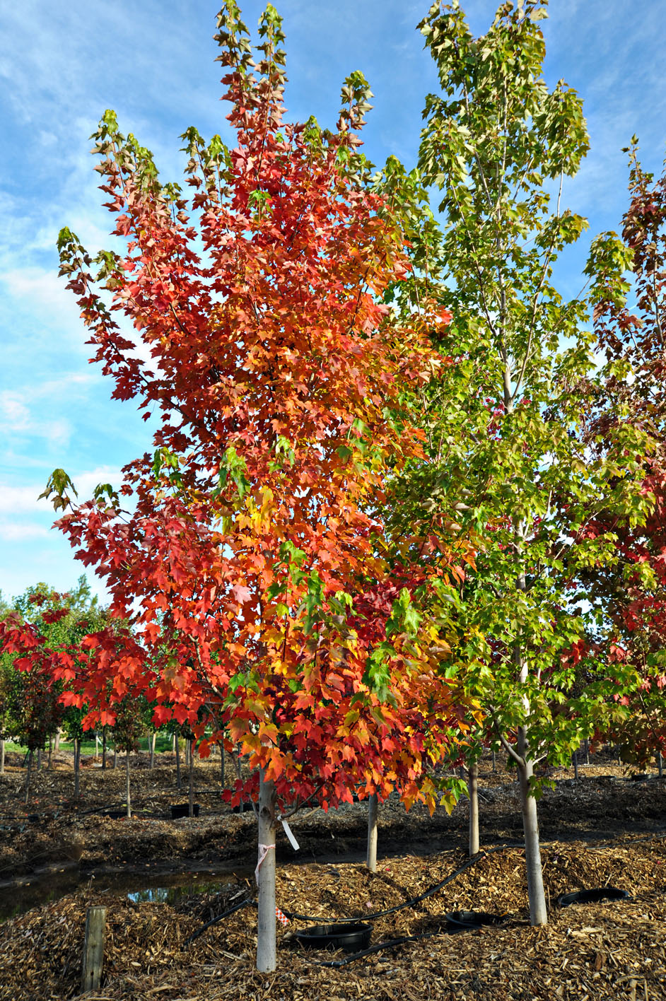 Maple October Glory Red