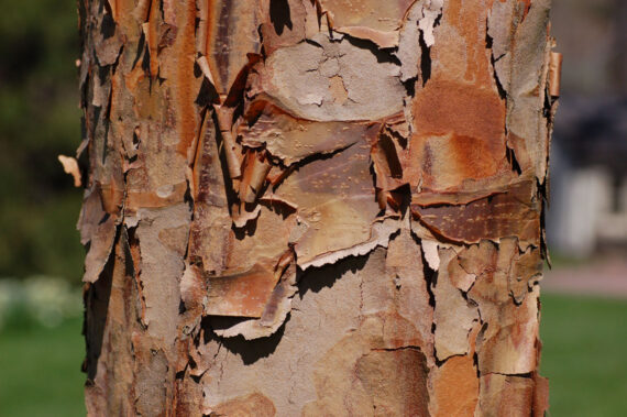 MAPLE PAPER BARK