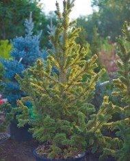 PINE BRISTLECONE – Trees for Sale in Colorado. Buy the best plants for your landscape.