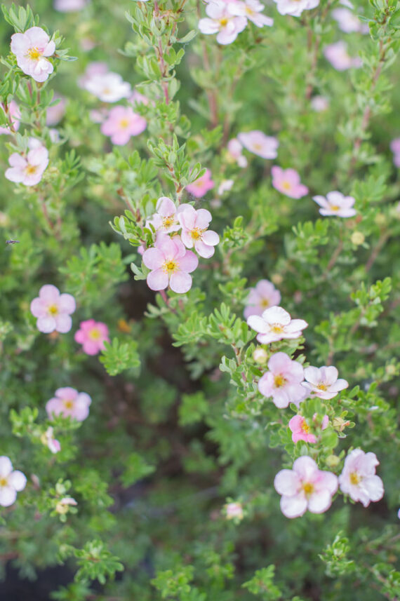 POTENTILLA PINK BEAUTY