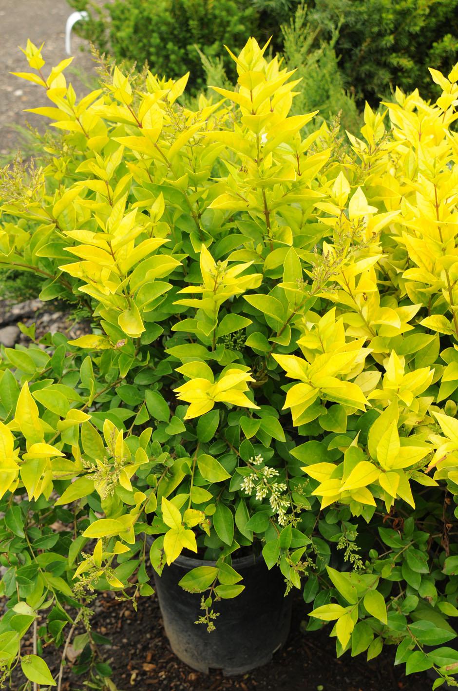 Privet golden vicary creekside tree nursery for Garden shrubs