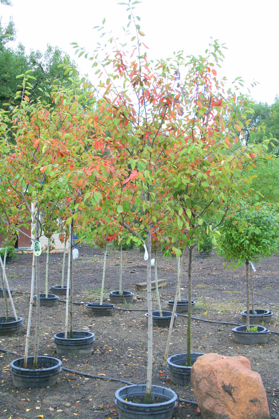 Serviceberry autumn brilliance creekside tree nursery serviceberry autumn brilliance trees for sale in colorado buy the best plants for your altavistaventures Gallery