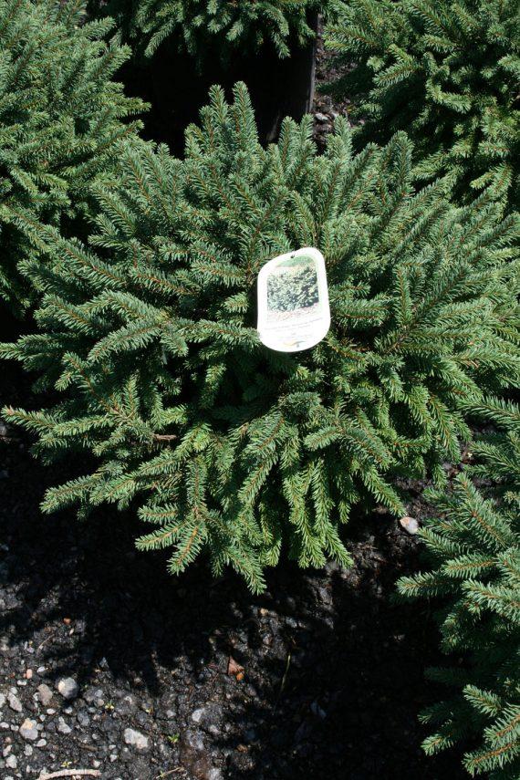 Spruce Birds Nest Creekside Tree Nursery