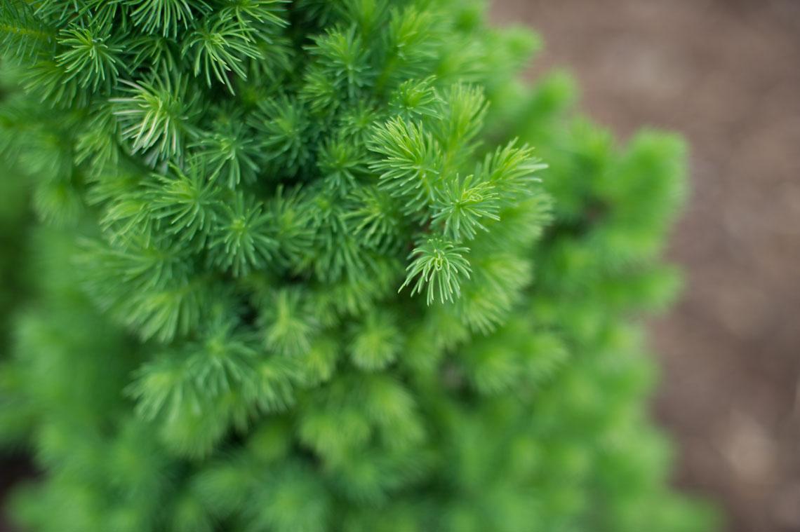 Blue Spruce Christmas Trees