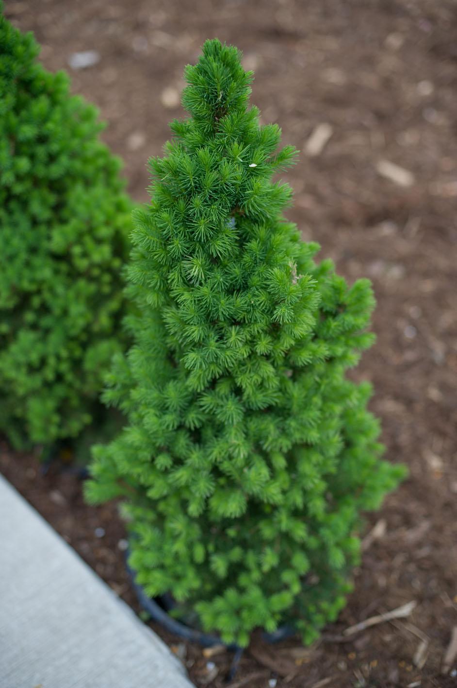 Spruce dwarf alberta creekside tree nursery for Evergreen shop
