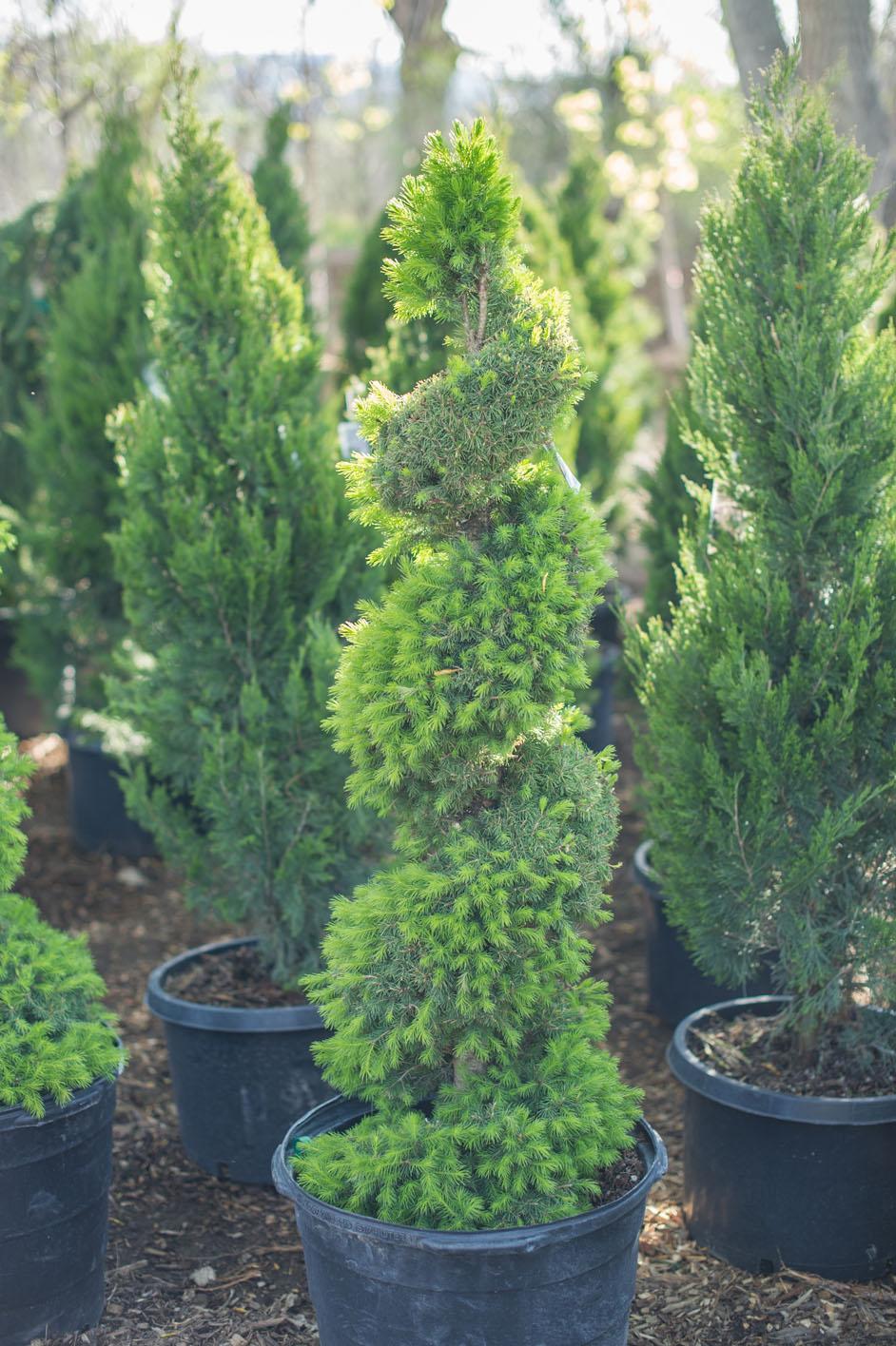 Spruce dwarf alberta creekside tree nursery for Small sized evergreen trees