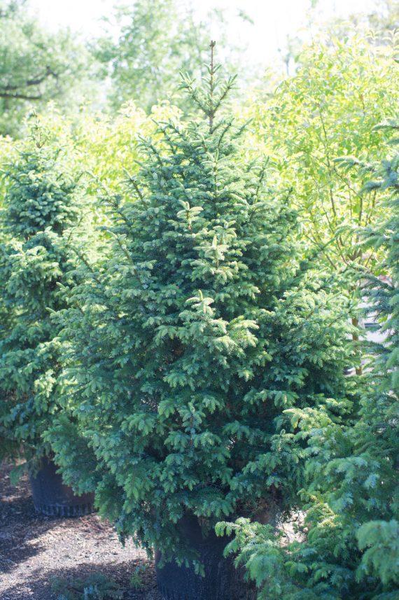 SPRUCE SERBIAN DWARF TREE-FORM