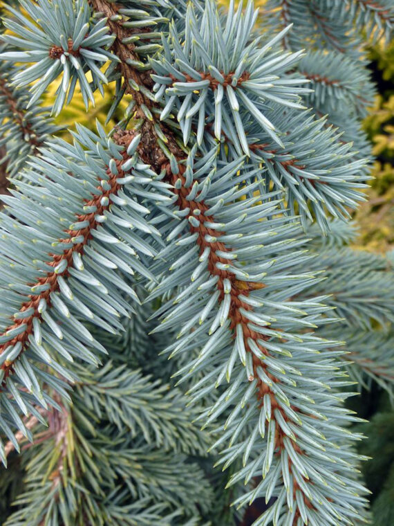 SPRUCE THE BLUES WEEPING