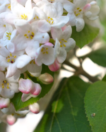 VIBURNUM FRAGRANT
