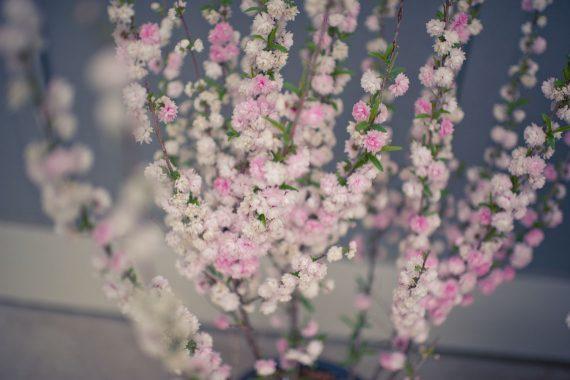 ALMOND PINK FLOWERING