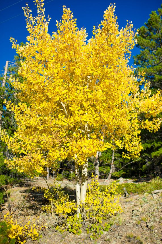ASPEN HARVESTED QUAKING