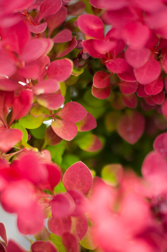 BARBERRY ADMIRATION
