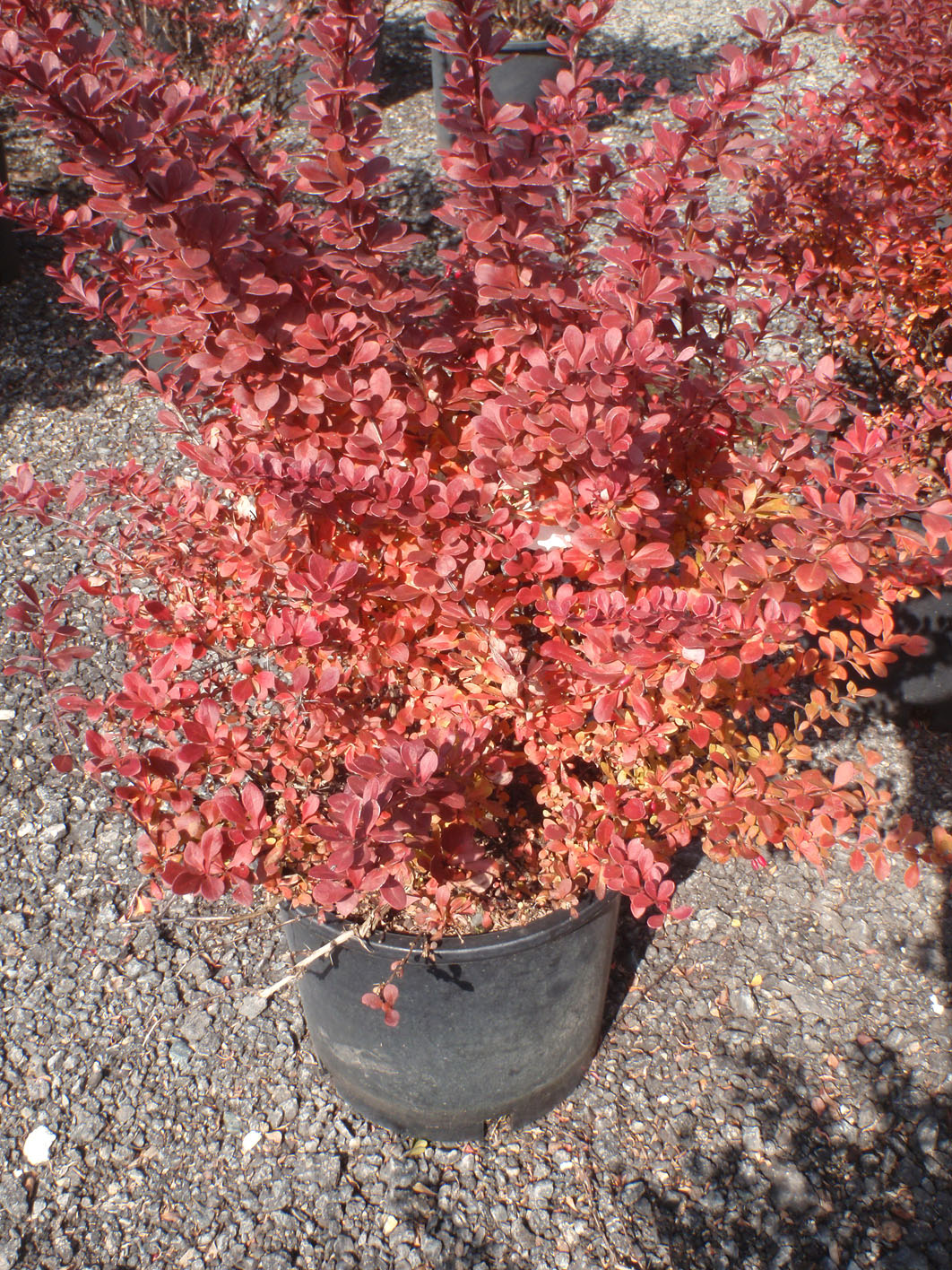 Barberry Crimson Pygmy For Sale In Boulder Colorado