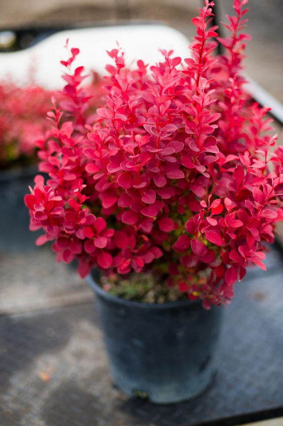 BARBERRY ORANGE ROCKET
