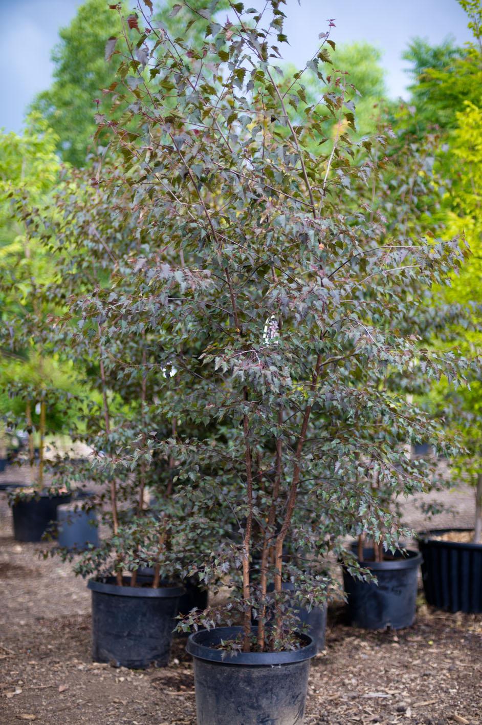 Crimson Frost Birch Trees Zef Jam