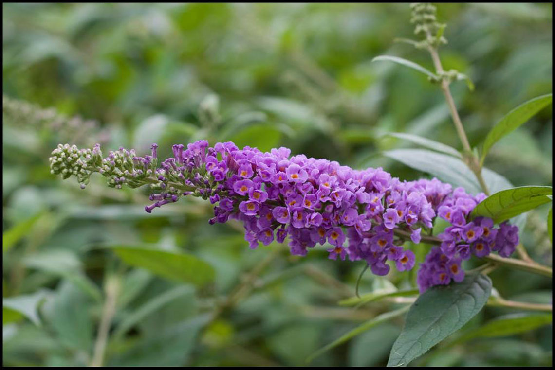 Butterfly Bush Blue Chip For Sale In Boulder Colorado