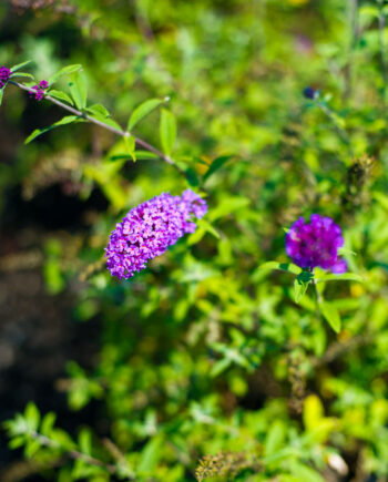 BUTTERFLY BUSH DWF PURPLE