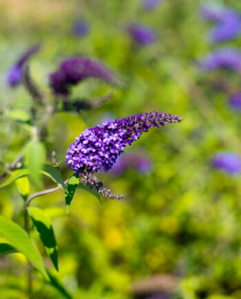 BUTTERFLY BUSH EMPIRE BLUE