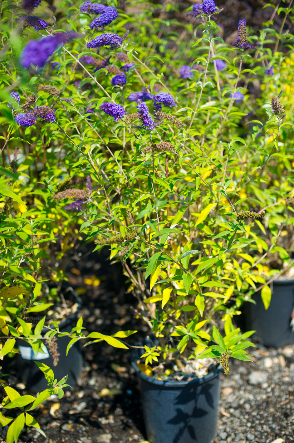 Butterfly Bush Empire Blue For Sale In Boulder Colorado