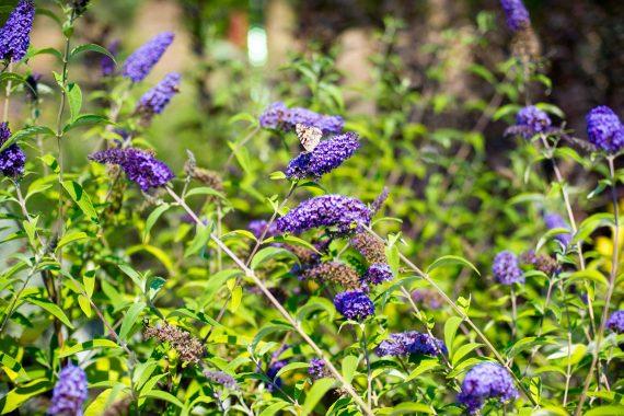 BUTTERFLY BUSH EMPIRE BLUE