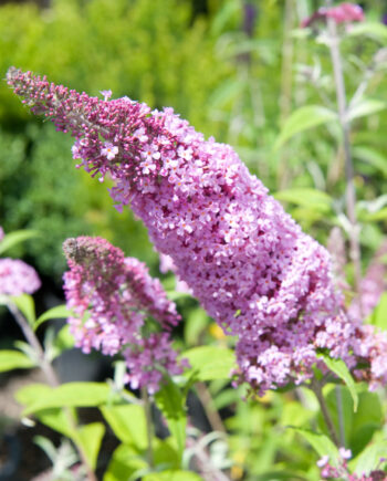 BUTTERFLY BUSH PINK CHARM