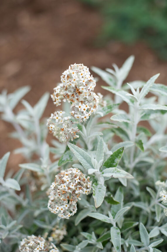 BUTTERFLY BUSH SILVER ANNIVERSARY