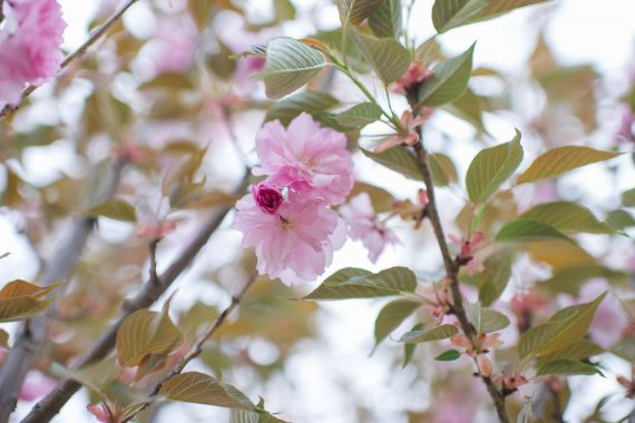 CHERRY KWANZAN FLOWERING