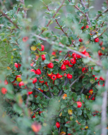 COTONEASTER CRANBERRY