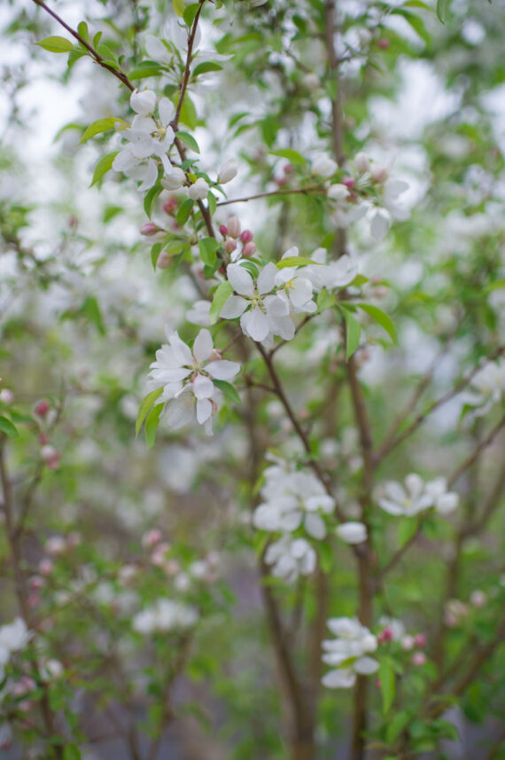 CRABAPPLE SPRING SNOW FLOWERING