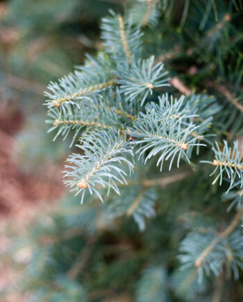 FIR CONCOLOR WHITE