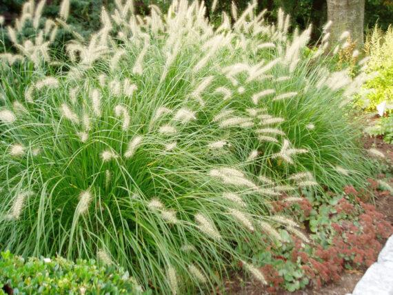 GRASS DWF FOUNTAIN HAMELN