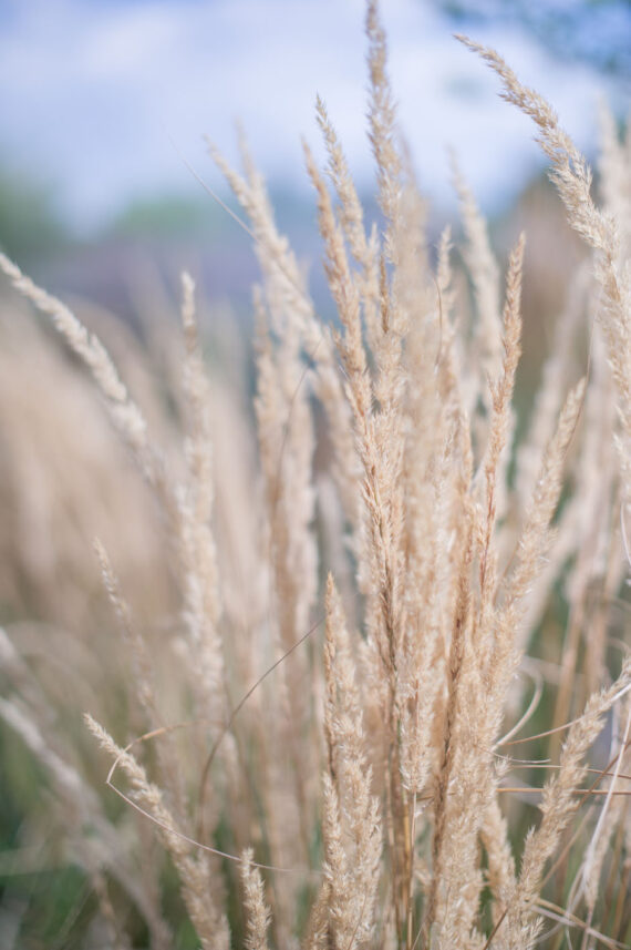 GRASS KARL FOERSTER'S FEATHER REED