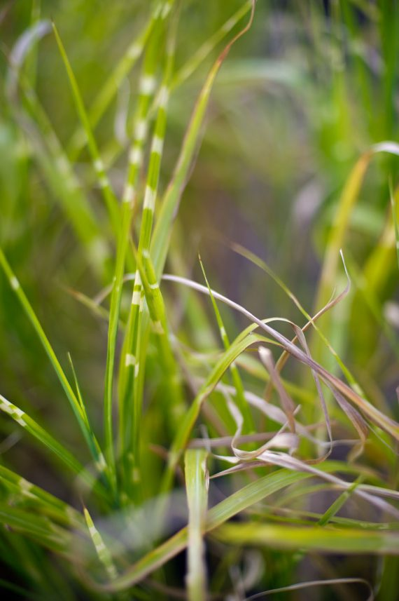 GRASS PORCUPINE JAP SILVER