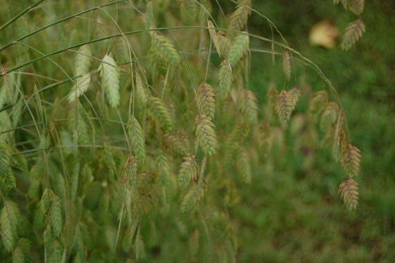GRASS NORTHERN SEA OATS