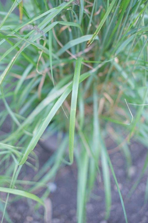 GRASS MISCANTHUS - SILVER JAPANESE