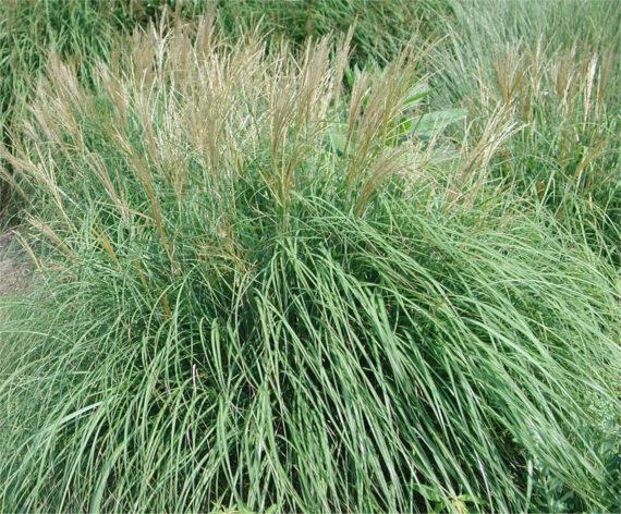 GRASS MALEPARTUS JAP SILVER