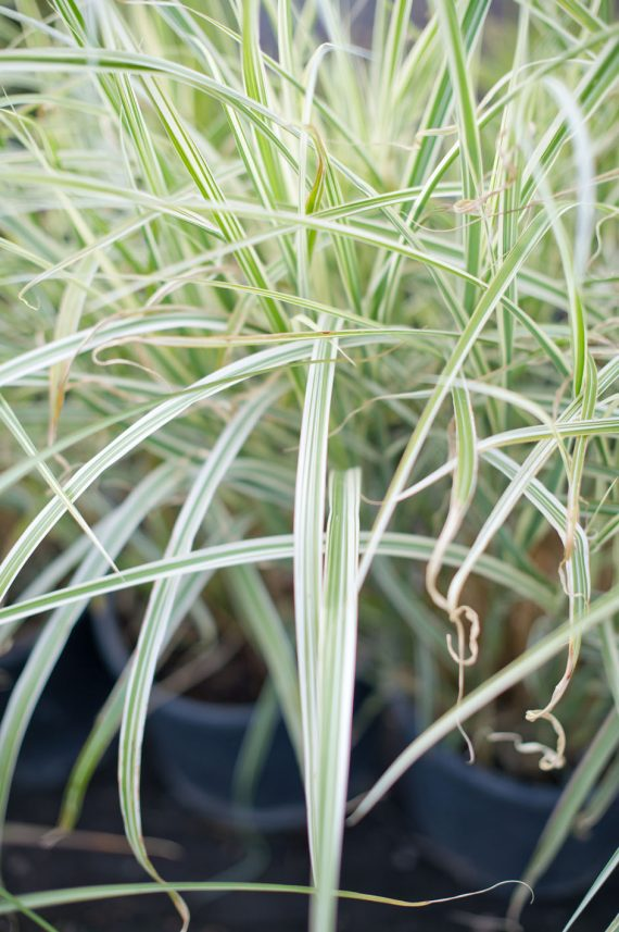 GRASS VARIEGATED JAP SILVER