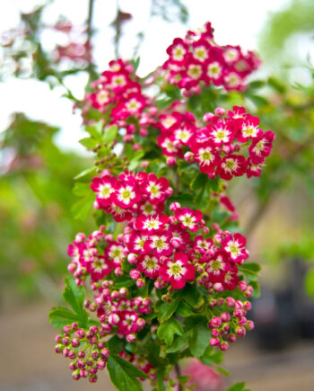 HAWTHORN CRIMSON CLOUD