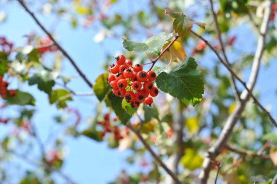 HAWTHORN WINTER KING